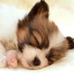 papillon_puppy-wide
