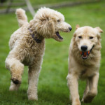 dogs-playing-at-dog-park-thinkstock-452222295