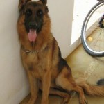 germanshepherddoggsdmike18monthsindiagermanimport1